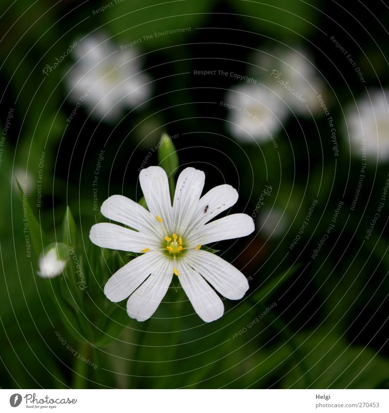 flowery Environment Nature Plant Spring Flower Blossom Wild plant Edge of the forest Blossoming Growth Esthetic Dark Simple Beautiful Small Natural Green White