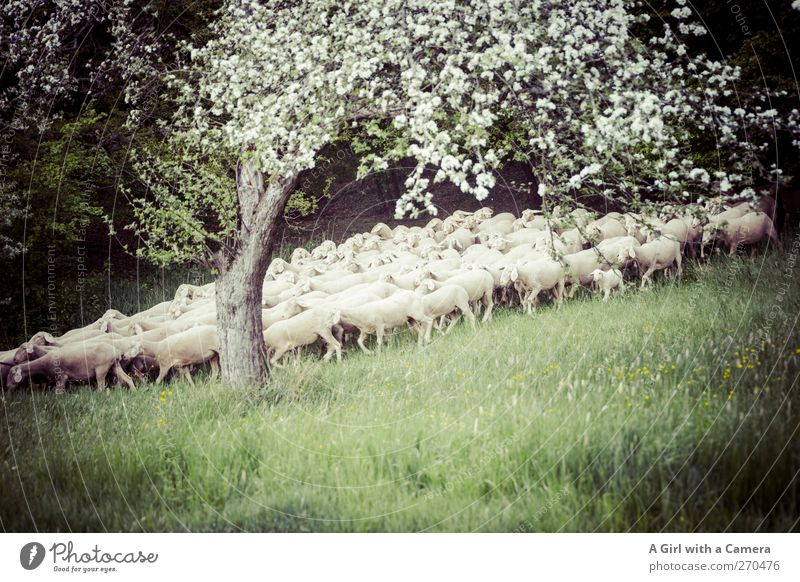 Animal Forest Meadow Spring Baby animal Together Fear Walking Group of animals Idyll Agriculture Appetite Sheep Hover To feed Haste