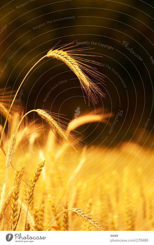 Got the spike Food Grain Organic produce Summer Environment Nature Landscape Plant Beautiful weather Agricultural crop Field Illuminate Growth Natural Yellow