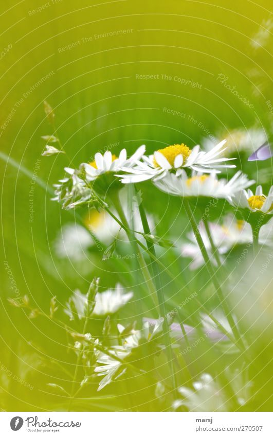 Nature White Green Plant Summer Flower Colour Yellow Meadow Grass Spring Small Blossom Dream Natural Happiness