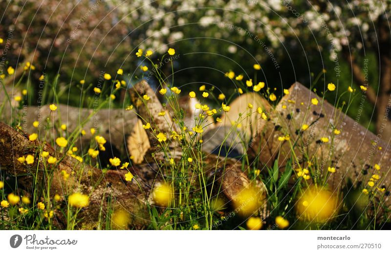 Nature White Green Tree Plant Sun Flower Leaf Environment Landscape Yellow Meadow Grass Spring Gray Blossom