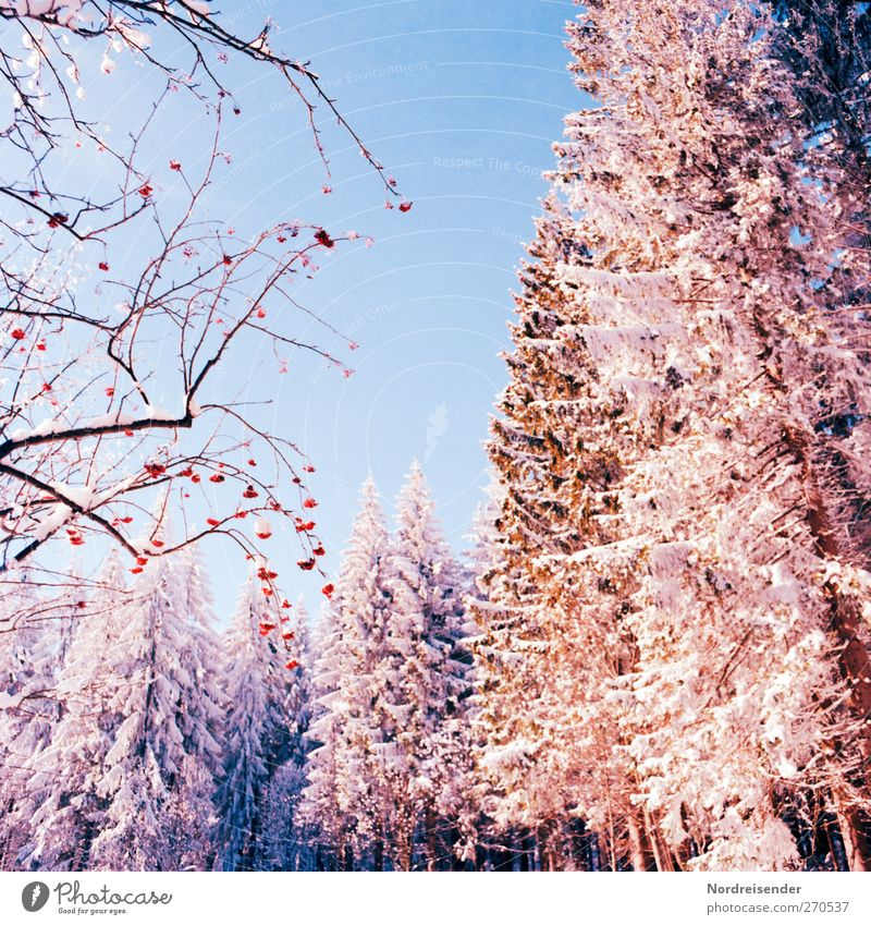 Nature Tree Plant Colour Winter Calm Forest Landscape Snow Life Ice Glittering Fresh Tourism Esthetic Bushes