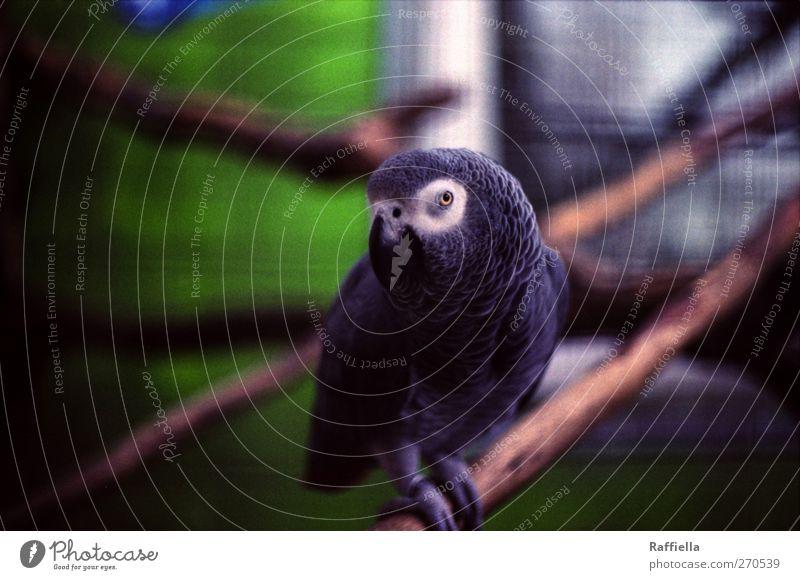 Green Animal Window Gray Sit Observe Zoo Branchage Parrots Perspective Bird