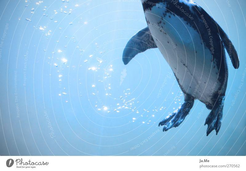 Blue Water Ocean Animal Swimming & Bathing Bird Wild animal Dive Air bubble Penguin Arctic Ocean Underwater aquarium