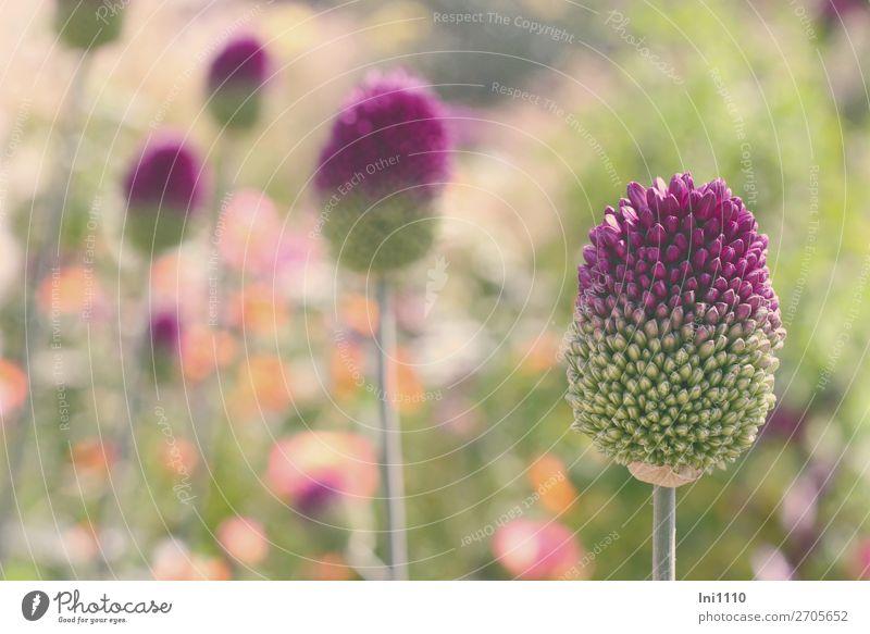 leek, spherical head Nature Plant Summer Beautiful weather Flower Allium sphaerocephalon Garden Park Multicoloured Gray Green Violet Orange Pink White Leek
