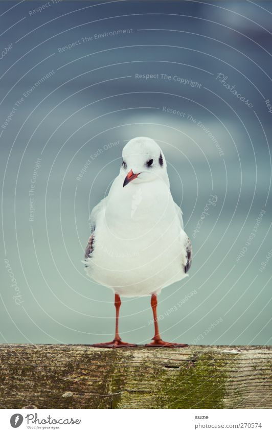 broad-legged creature Calm Environment Nature Animal Sky Wild animal Bird 1 Stand Wait Cold Small Cute Blue White Seagull Gull birds Feather Wood
