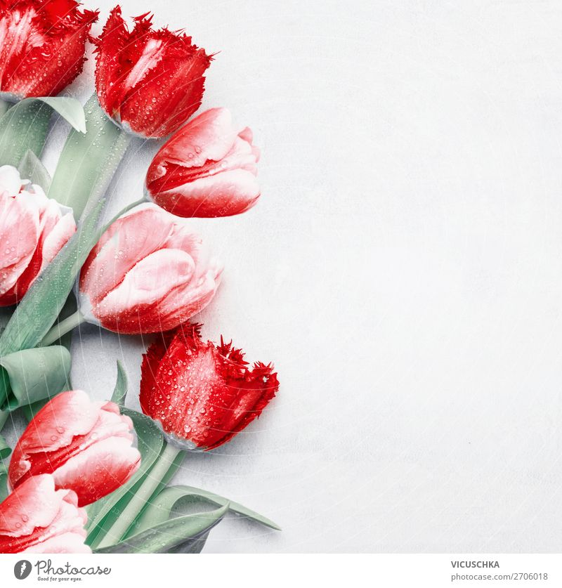 Red tulips background, top view. Festive spring flowers. Floral composing. Springtime holiday and greeting concept. Copy space for your design red festive