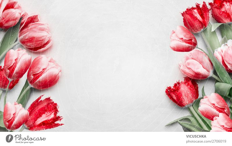 Red Tulips Background Frame Shopping Design Valentine's Day Mother's Day Birthday Nature Plant Spring Decoration Bouquet Background picture Composing Arranged