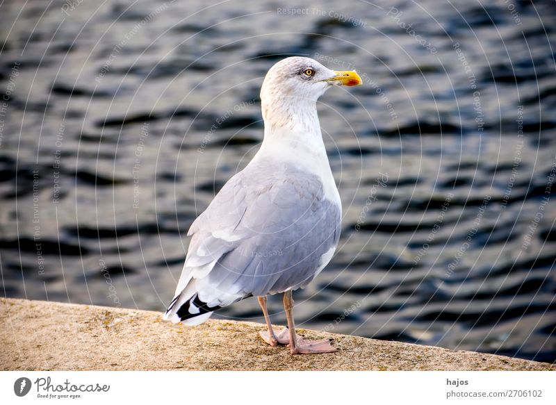 Silver Gull at the Pier at the Baltic Sea Animal Wild animal Bird 1 Stand Silvery gull Seagull Gray White stands looks Pride fauna Poland Colour photo