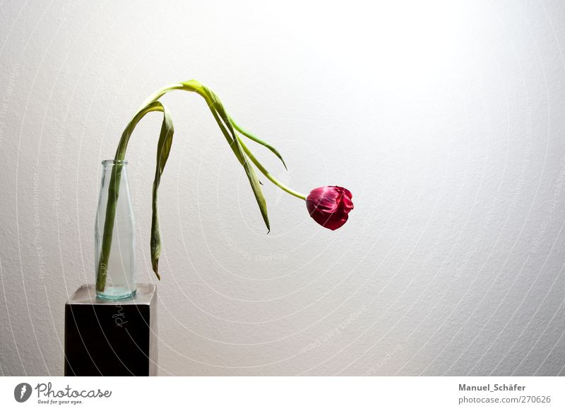 Spring is running out Plant Flower Tulip Blossom Simple Modern Gray Green Pink White Loneliness Beginning End Grief Sadness Colour photo Interior shot