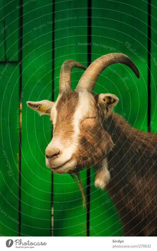 Monday Morning Portrait Goats 1 Animal Relaxation Sleep Authentic Friendliness Funny Cute Brown Green Love of animals Indifferent Thuringian Forest Goat