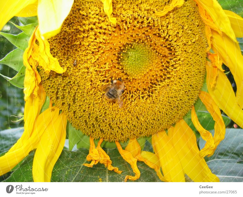 sunflower Bumble bee Sunflower Flower Plant Yellow Insect Blossom Leaf Blossom leave Macro (Extreme close-up) Nature
