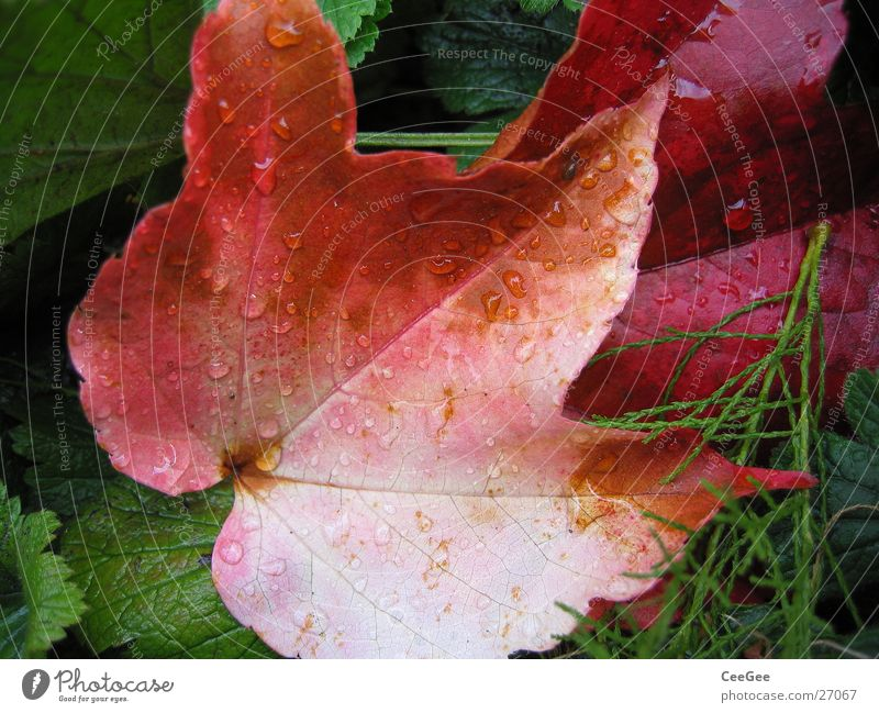 Nature Water Plant Red Leaf Autumn Rain Drops of water Wet Damp Virginia Creeper