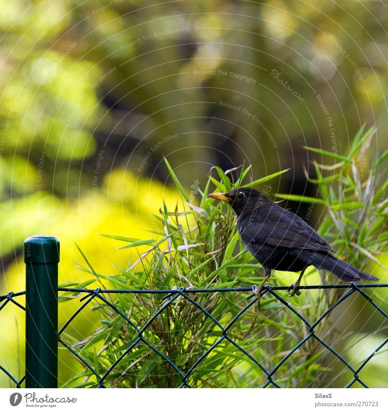 Green Tree Plant Animal Black Yellow Bird Brown Orange Fence Blackbird Fence post