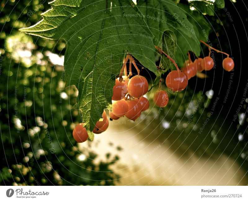 Red balls Water Sunlight Summer Tree Bushes Leaf Forest Brook Beautiful Warmth Green Nature Colour photo Exterior shot Deserted