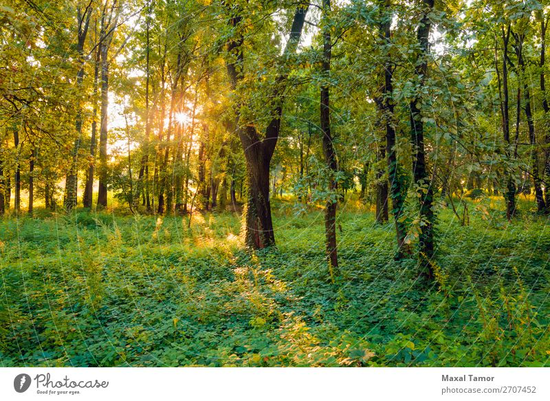 Sunrise in the Forest Vacation & Travel Summer Fog Tree Grass Park Green Mysterious Kiev Kyiv Ukraine blow calm Glow Horizontal light Magic magical mystical