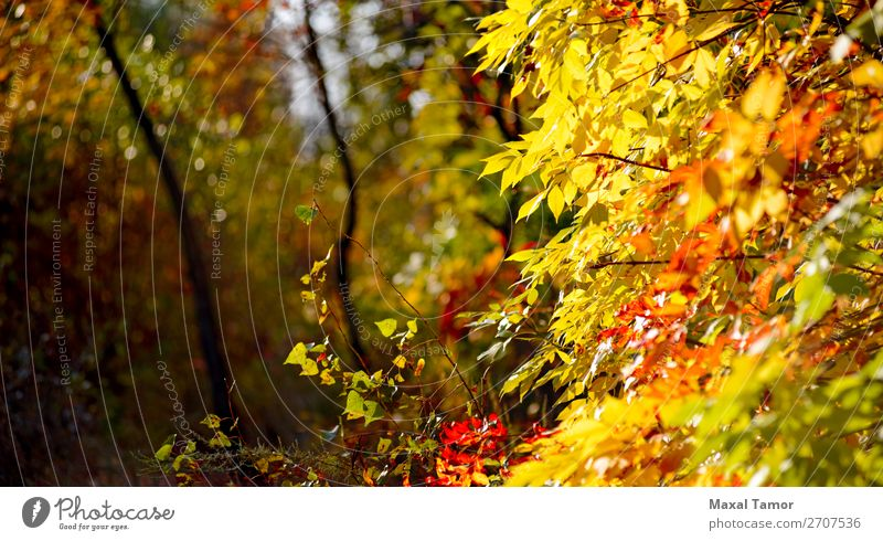 Yellow and Red Autumn leaves Sun Environment Nature Landscape Tree Leaf Park Forest Natural Green background country fall light Poplar rowan Seasons sunny wood