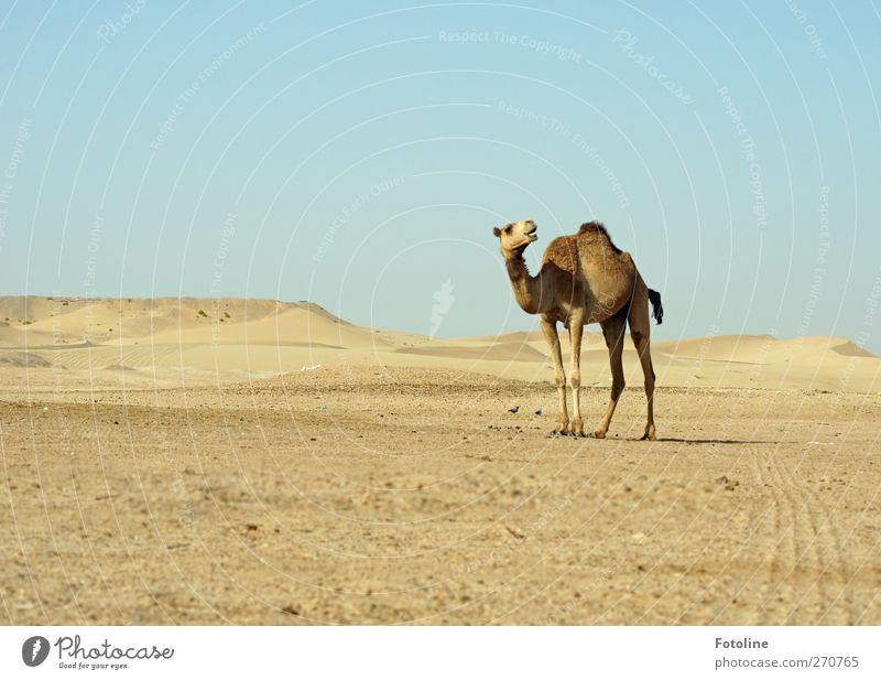 Sky Nature Animal Environment Landscape Warmth Bright Natural Desert Pelt Tracks Hot Cloudless sky Farm animal Dromedary