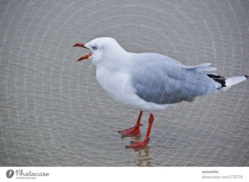 bawler Nature Sand Water Coast Lakeside Beach Ocean Animal Wild animal Bird Wing 1 Rutting season Flying Free Seagull Gull birds Seagull droppings Beak Scream