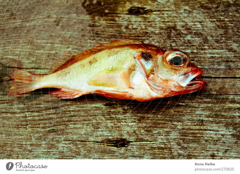 Red Ocean Animal Wood Brown Power Success Fresh Fish Catch Fishing (Angle) Organic produce Captured Escape Fishery