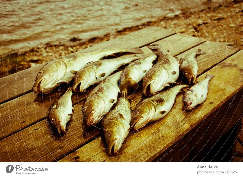 Cod swarm in Alt Fish Sushi Group of animals Flock Catch Captured pilkers Bait Success Pork tenderloin Kill Coast Wood bartel Fin Fish bone Eel High sea