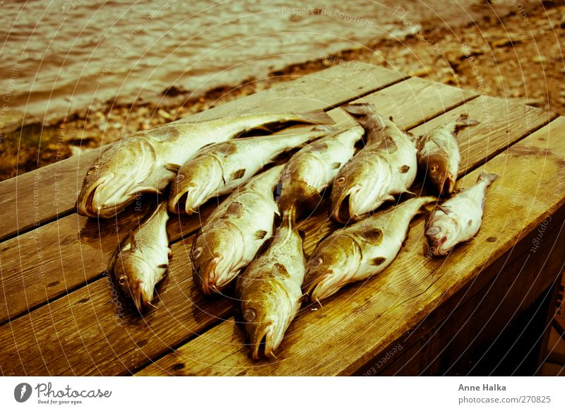 Ocean Wood Coast Success Group of animals Fish Catch Fishing (Angle) Captured Norway Flock Kill Sushi Fin Sea water