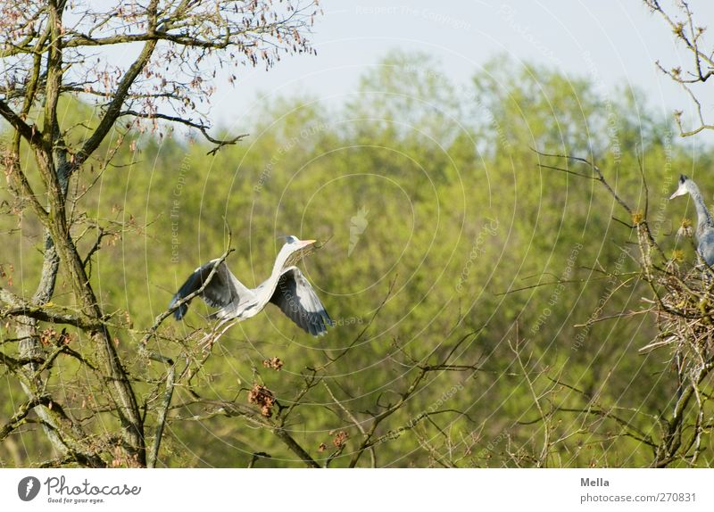I'll fly to you, my darling! Environment Nature Plant Animal Spring Tree Branch Wild animal Bird Heron Grey heron 2 Pair of animals Rutting season Movement