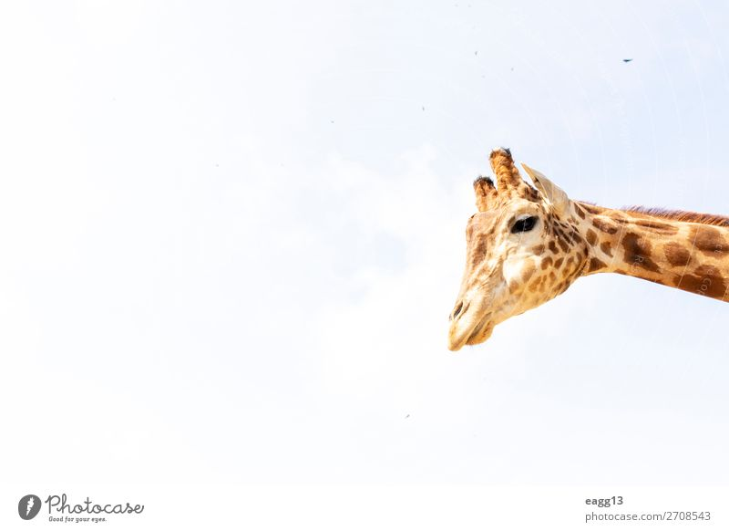 Cute giraffe under the blue sky Sky Vacation & Travel Nature Blue Colour Beautiful Landscape Animal Face Yellow Environment Natural Tourism Brown Wild