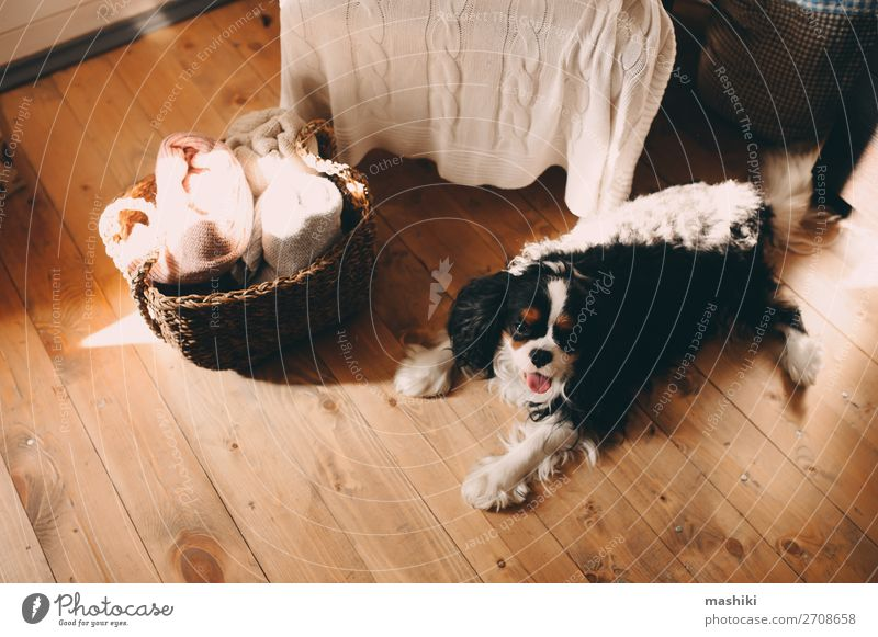 cavalier king charles spaniel dog relaxing at home Dog Beautiful White Relaxation Animal Black Warmth Happy Small Friendship Cute Sleep Pet Home Fatigue