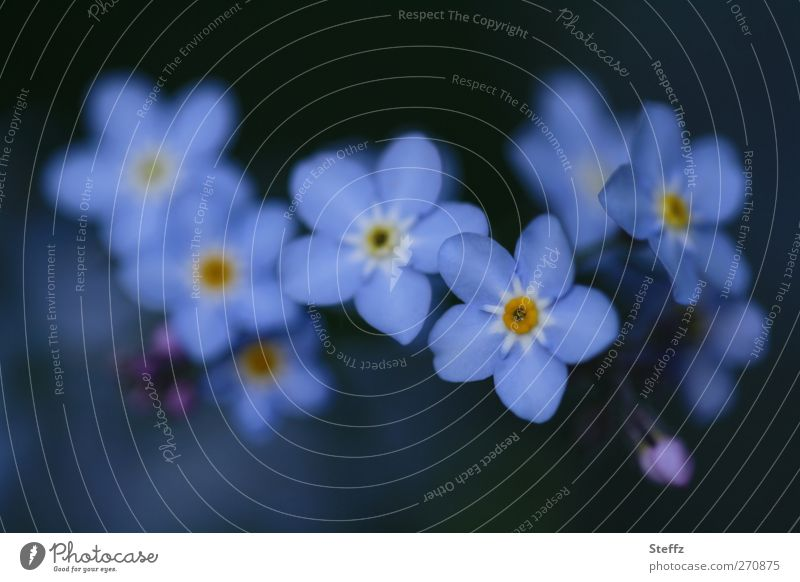 Forget-me-not together wild plants spring flowers romantic Blossom Decent Spring flower Blossoming flowering flower Esthetic Near Blue Romance blue-grey blossom