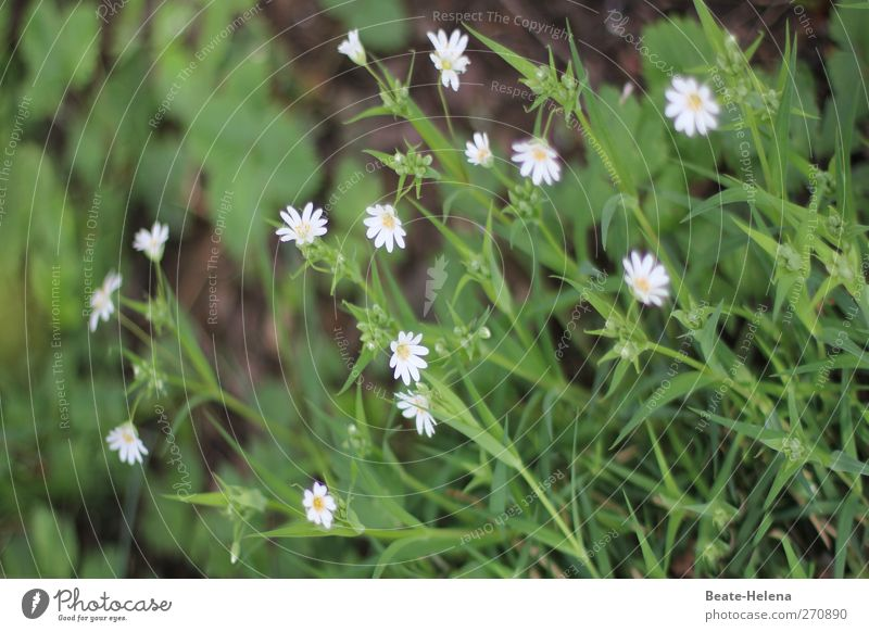 windswept Garden Blossoming Growth Beautiful Small Yellow Green White Power Purity Modest pygmy daisies uncontrolled growth Flowering plant Bud Colour photo