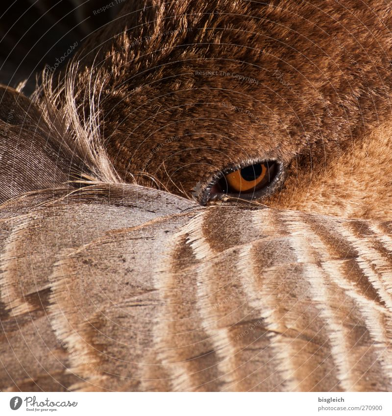 instant Animal Bird Goose Eyes 1 Looking Brown Watchfulness Feather Colour photo Exterior shot Deserted Day Animal portrait Looking into the camera