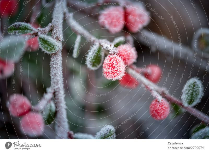A little frost Nature Plant Winter Ice Frost Bushes Leaf Pygmy Medlar Twig Berry bushes Berries Garden Park Hang Beautiful Cold Small Round Brown Gray Green Red