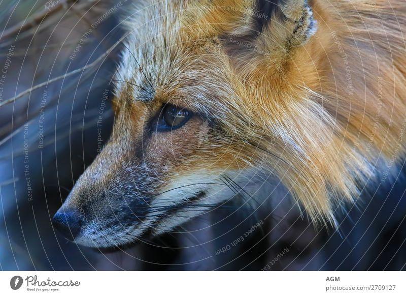 Fuchs close-up portrait Face Hunting Animal Dog Astute Curiosity Smart omnivorous Fox fox tapeworm Foxhunting cultural follower Master Reineke fur Reineke Fox
