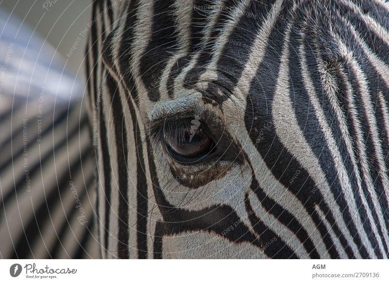 Zebra close-up eye Animal Pelt Horse Zoo 1 Esthetic Bright Beautiful Black White Striped stripe pattern Depth of field Eyelash Swirl Zebra crossing
