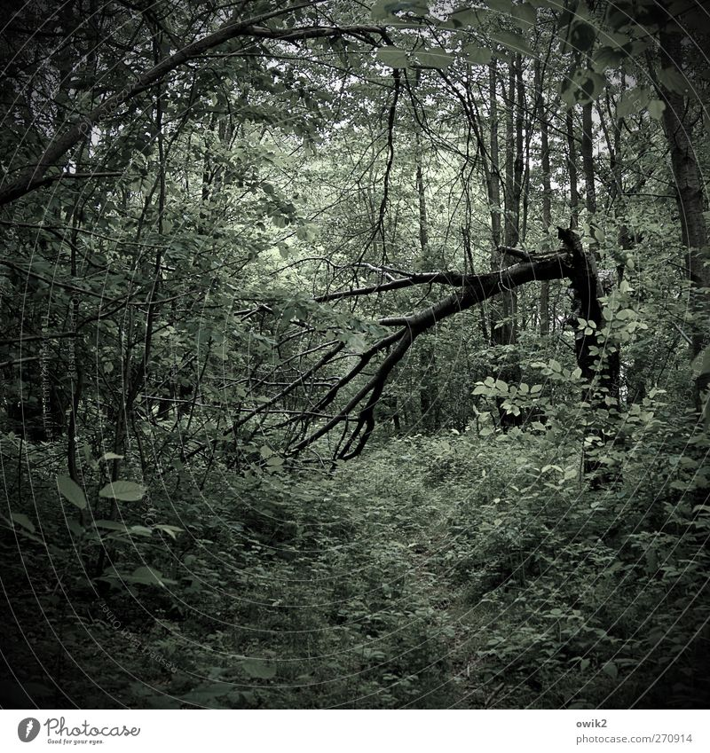old wood Environment Nature Landscape Plant Tree Bushes Leaf Foliage plant Deciduous forest Forest Footpath Wood Growth Dark Creepy Natural Green Black Threat
