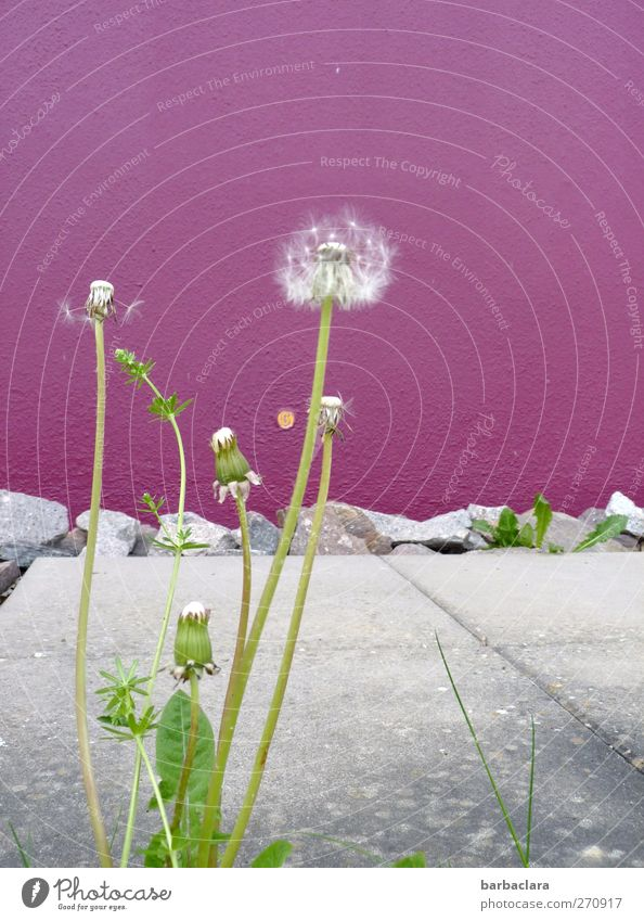 Nature White Green House (Residential Structure) Environment Wall (building) Spring Gray Wall (barrier) Park Wild Growth Change Violet Blossoming Dandelion