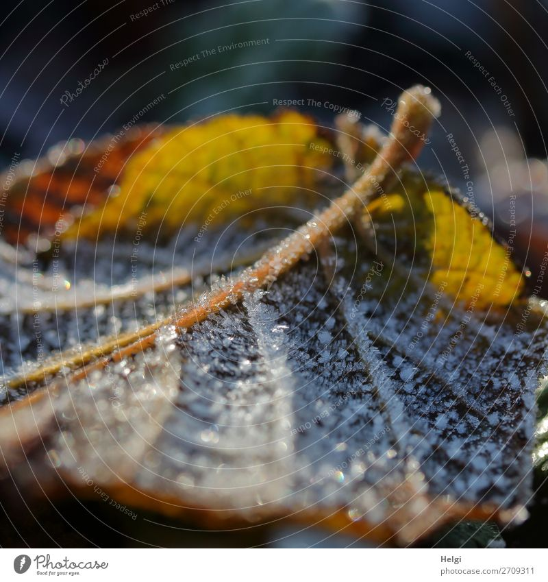Close-up of a yellow-brown autumn leaf with hoarfrost in backlight Environment Nature Plant Winter Ice Frost flaked Rachis Garden Freeze Glittering Illuminate