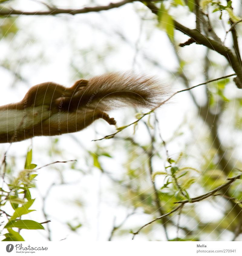 Nature Plant Environment Movement Natural Funny Jump Wild animal Branch Pelt Paw Tails Squirrel Animal Exterior shot Blur