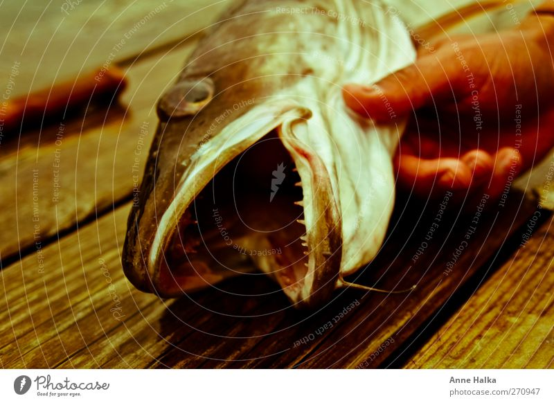 The ling fish that has teeth in alto Hand Fjord Ocean Catch Bite Muzzle Set of teeth Fish mouth bartel Fang Hunter Hunting Captured Success Rip Threat Dangerous