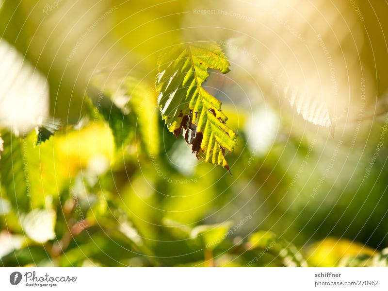pitted Environment Nature Plant Sunlight Autumn Beautiful weather Tree Bushes Leaf Foliage plant Park Green Eroded Depth of field Leaf green Limp Friendliness