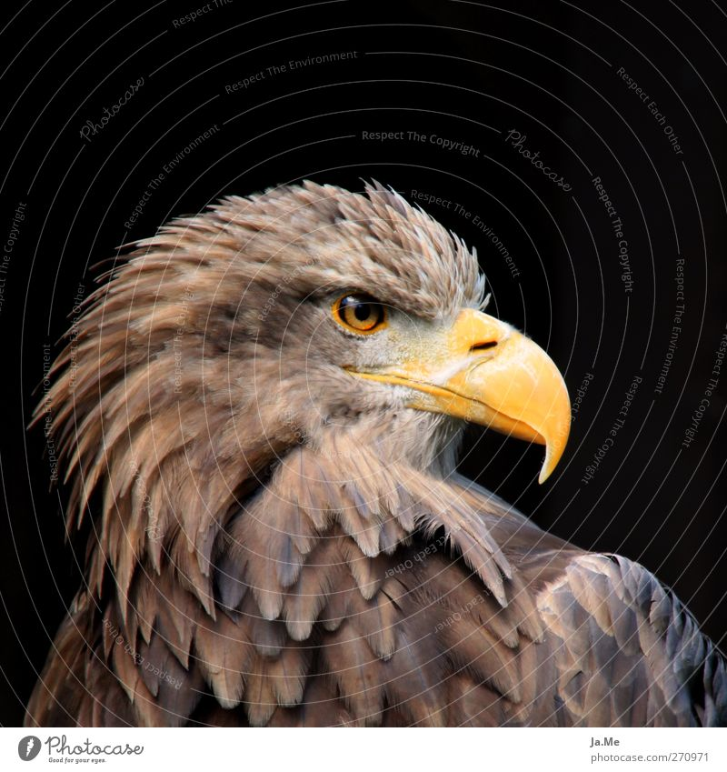 European White-tailed Eagle Animal Wild animal Bird Animal face White-tailed eagle Beak Bird of prey 1 Brown Yellow Pride Colour photo Exterior shot Close-up