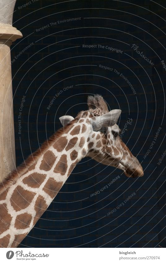I'll be off. Animal Wild animal Zoo Giraffe Neck 1 Going Stand Large Brown Yellow Black Colour photo Subdued colour Exterior shot Deserted Copy Space top Day