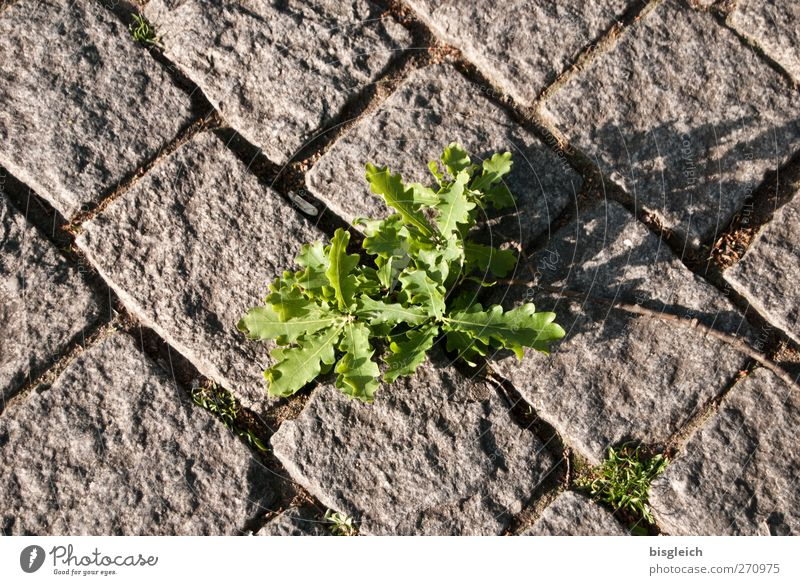 Grey-Green Plant Leaf Foliage plant Street Paving stone Stone Growth Gray Power Colour photo Exterior shot Deserted Day Bird's-eye view