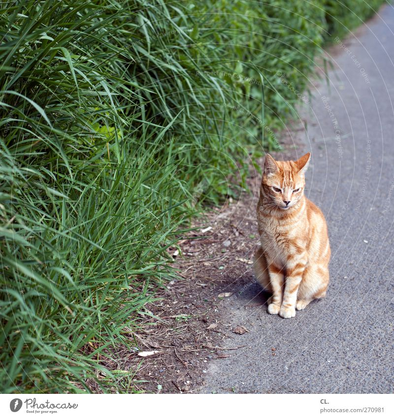 cat Environment Nature Grass Bushes Animal Pet Cat Animal face Pelt Claw Paw 1 Observe Discover Sit Wait Cute Brown Calm Timidity Lanes & trails Street