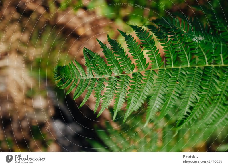 fern Nature Plant Bushes Fern Leaf Foliage plant Wild plant Forest Breathe Relaxation Growth Living or residing Exotic Friendliness Glittering Brown Green