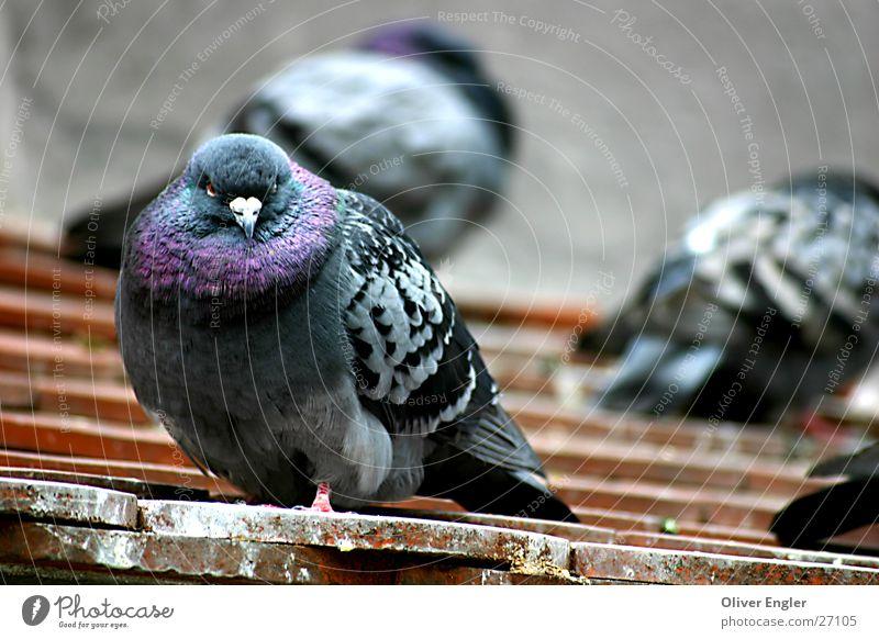 Pigeon in Munich Bird