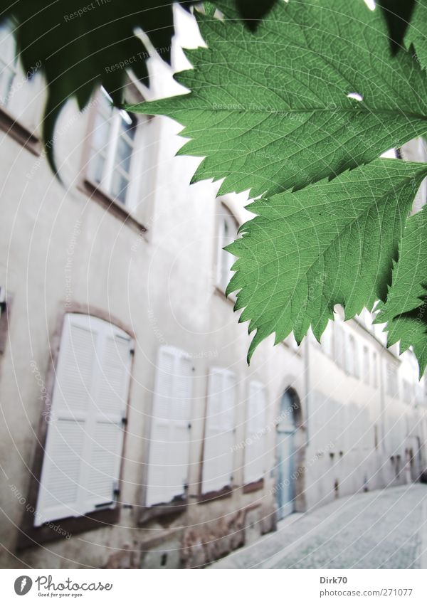 Clear lane, leaf decoration Beautiful weather Plant Leaf Foliage plant Tendril Strasbourg France Town Downtown Old town Deserted House (Residential Structure)