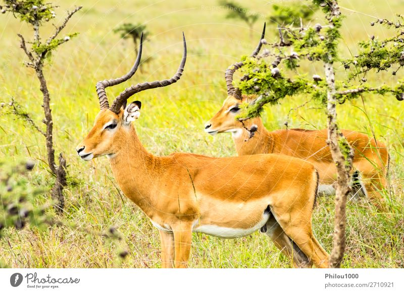 Two male impalas in Nairobi park Beautiful Safari Man Adults Nature Animal Park Natural Wild Green Black aepyceros Africa african animals Antelope background
