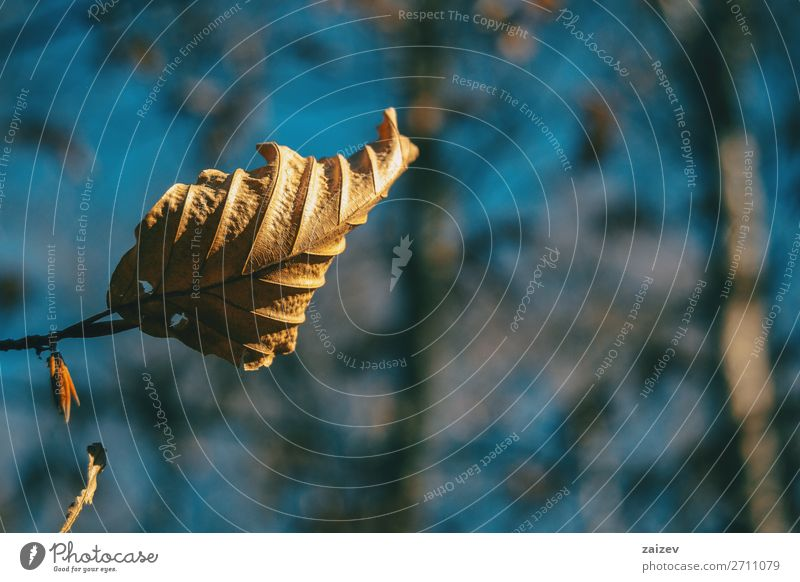 Close-up of a dried autumnal leaf hanging on a branch Beautiful Life Wallpaper Nature Plant Autumn Leaf Sadness Growth Natural Brown Hope Death Loneliness